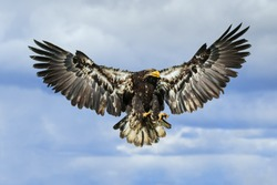 Bald eagle with wings spread. A young bald eagle is seen in flight with its wings fully spread.