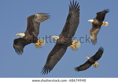 Bald Eagles in flight. Latin name - Haliaeetus leococephalus.