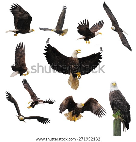 Bald eagles isolated on the white background.