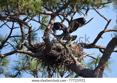 Bald eagles nesting in south Florida