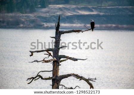 Bald Eagles of the Columbia River Gorge #1298522173