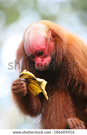 Bald Uakari, A red faced monkey eating a banana in Peru