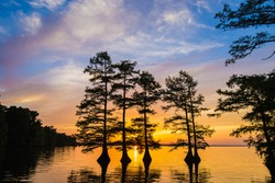 Baldcypress Trees at sunset