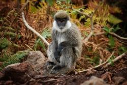 Bale vervet monkey, Chlorocebus djamdjamensis. Close up, very rare, endemic, mountaneous monkey in ist natural environment. Harenna rain forest, Bale Mountains, travelling Ethiopia.