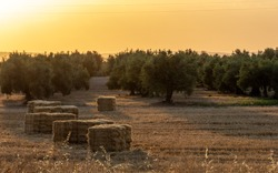 Bales of dry straw next to the olive trees in the Andalusian countryside at sunrise