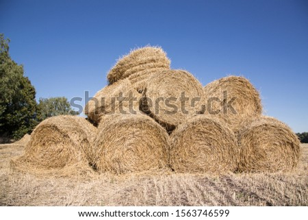 Bales of pressed straw are stacked on top of each other on the field. Harvesting straw for agricultural needs #1563746599