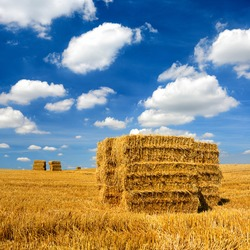 Bales of Straw in Stubble Field during Harvest, Summer Landscape under Blue Sky