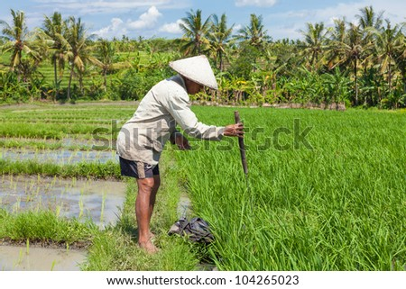 BALI-FEB. 15: Farmer uses wooden tool to prepare paddy field on February 15, 2012 in Bali, Indonesia. Farmers typically plant Green Revolution rice varieties allowing 3 growing seasons yearly.