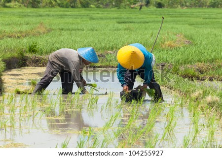 BALI-FEB. 15: Rice farmers planting stalk crop in their paddy field on February 15, 2012 in Bali, Indonesia. Bali's fertile volcanic soil has made rice a central dietary staple.