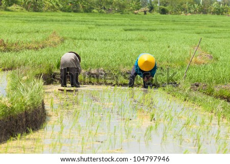 BALI - FEBRUARY 15. Rice farmers planting stalk crop in their paddy field on February 15, 2012 in Bali, Indonesia. Bali's fertile volcanic soil has made rice a central dietary staple.