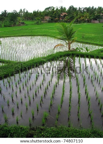 Bali: flooded rice field terraces near the lovey village of Ubud. Bali, Indonesia
