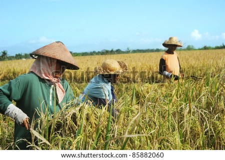 BALI,INDONESIA- APRIL 19:  Local people working on the rice field on April 19,2011 in Bali, Indonesia. Rice is more than just the staple food; it is an integral part of the Balinese culture.