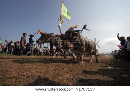 BALI, INDONESIA-JULY 5: Buffaloes charge towards the finishing line in makepung (buffalo chariot race) in Bali,Indonesia on July 5,2009. This tradition is passed from generations in Jembrana district