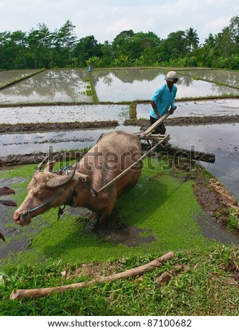 BALI, INDONESIA - JULY 28 : On cultivated land Indonesia occupies the 7th place in the world. The third part of them are irrigated. Field preparation for planting rice on July 28, 2004 in Bali
