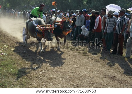BALI, INDONESIA-JULY 5:Red team lead in makepung (buffalo chariot race) in Bali,Indonesia on July 5, 2009. The race originated between local farmers after harvesting during their spare time.