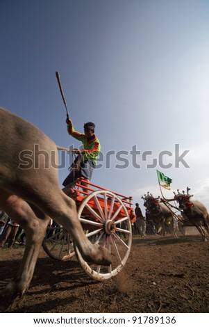 BALI, INDONESIA-JULY 5: Two team compete in makepung (buffalo chariot race) in Bali, Indonesia on July 5, 2009. The race originated between local farmers after harvesting during their spare time