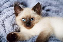 Balinese cat, Balinese kitten on gray background