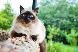 Balinese cat is sitting on the background of green garden