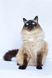 Balinese cat is sitting on the white background