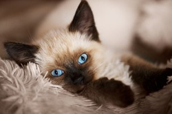 Balinese cat, kitten with blue eyes is lying on the sofa