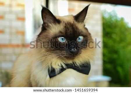 Balinese cat sitting in the garden on the background of green trees #1451659394