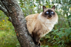 Balinese cat sitting  on a cherry tree in a green garden