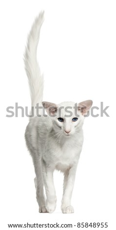 stock photo : Balinese cat, 1 year old, standing in front of white