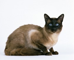 Balinese Domestic Cat against White Background