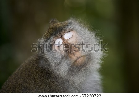 balinese monkey at ubud monkey forest