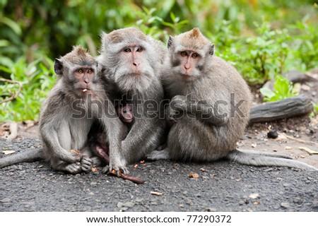 balinese monkey family at ubud