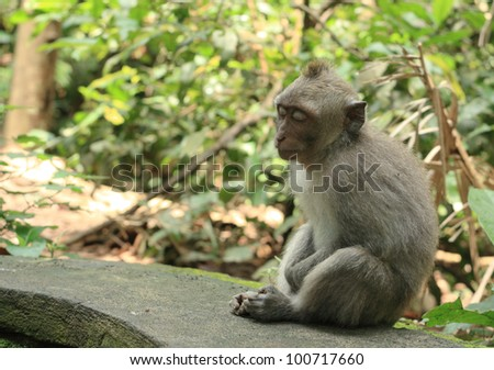 Balinese monkey live at the forest near the temple