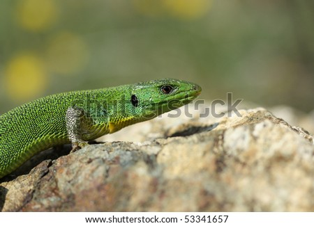 Balkan Green Lizard - Lacerta trilineata, basking on a rock - stock photo