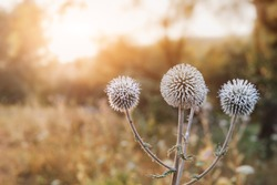 ball-headed snout or Echinops sphaerocephalus is a popular plant in folk herbal medicine