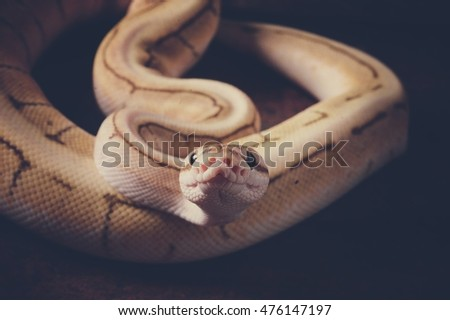 Ball python in vintage color
