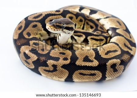 ball python on white background   Save to a lightbox?   find similar images  share? Pink cupcake ,wedding cake