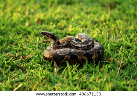 Ball python originate from Africa. It is a non-venomous constrictor and a smallest of African pythons. Ball python is popular in pet trade due to its typically docile temperament
