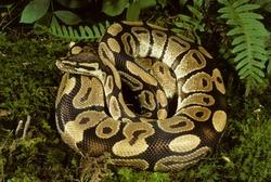 Ball Python (Python regius), Africa