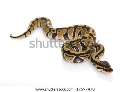 Ball Python (Python regius) on white background.