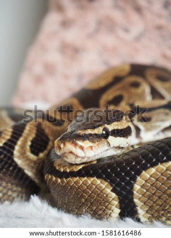 Ball python (python regius, royal python) baby girl pet snake on pillow