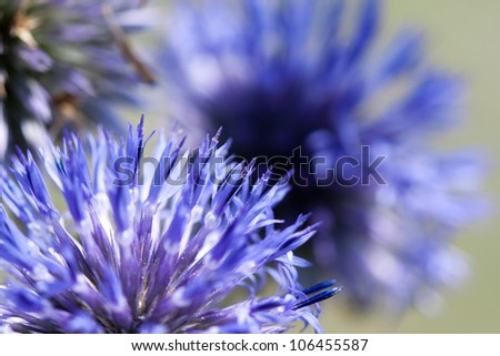 Spiky Ball Flower Ball Shaped Blue Flowers of