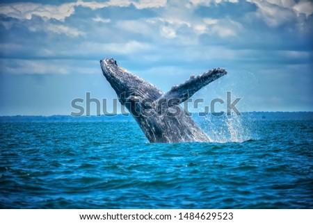 Ballena Yubarta - pacifico colombiano. Humpback whale in the Colombian Pacific Foto stock ©