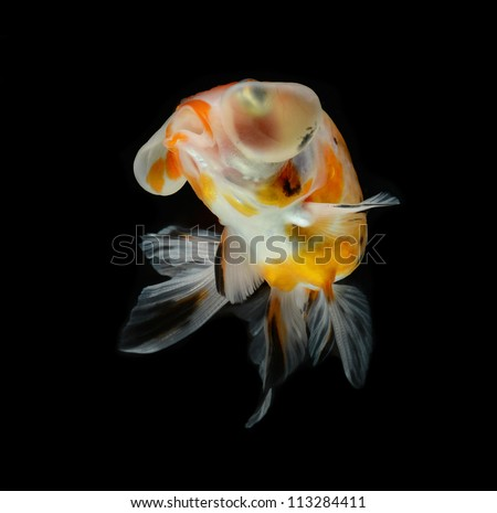 balloon goldfish isolated on black background