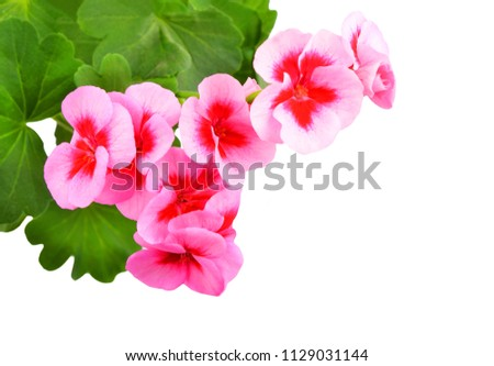 Balmy Geranium flower, isolated on white background