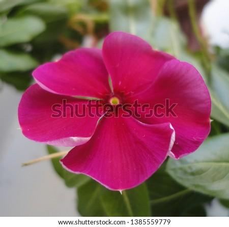 balsam blooms on the windowsill crimson