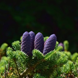 Balsam fir: a species of Firs, also known as American silver fir, Balm of gilead fir, eastern and canadian fir, Blister pine, its botanical name is Abies balsamea.