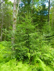 Balsam Fir tree (Abies balsamea) growing in a forest at Blackwater Falls State Park in West Virginia.