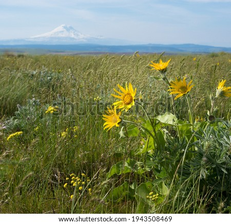 balsam root flower in field with mt adams in the backdrop behind rolling hills at the dalles mt ranch Photo stock ©