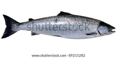 Baltic wild salmon isolated on white background