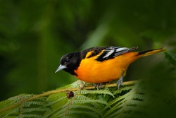 Baltimore Oriole, Icterus galbula, sitting on the green mossy branch. Tropical bird in the nature habitat. Wildlife in Costa Rica.
