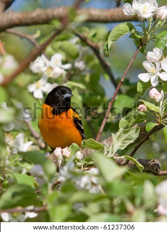 Baltimore Oriole in the Midst of Apple Blossoms